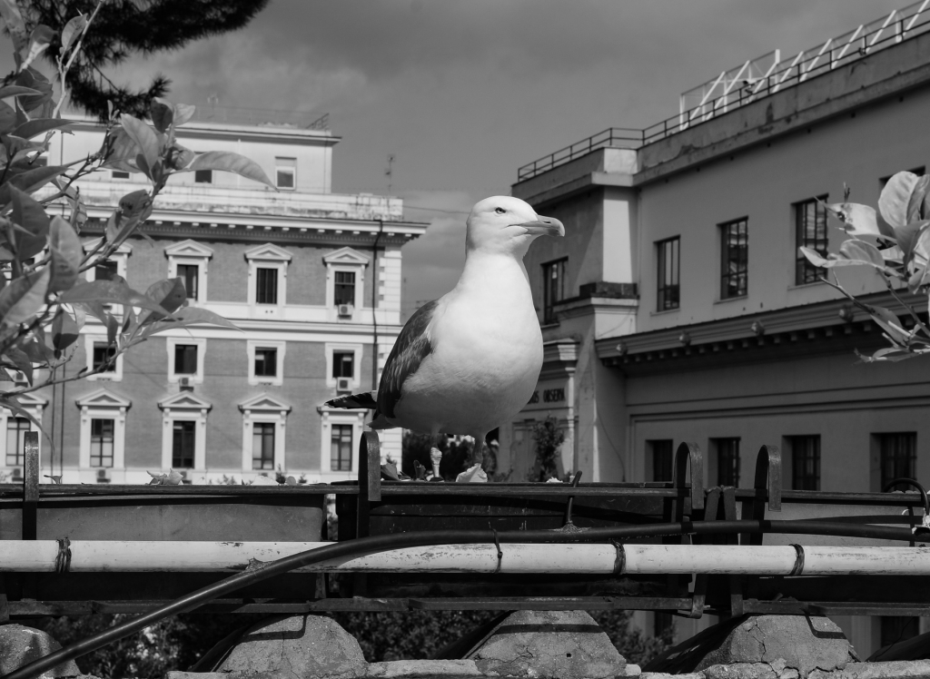 Sea gull, Rome 2018